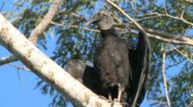 Costa Rica Black Vulture Suns On Tree Branch