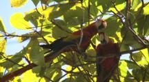 Scarlett Macaw Mating Pair Preens In Tree Canopy Costa Rica