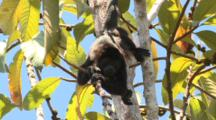 Black Howler Monkey Hangs By Tail In Treetop Costa Rica