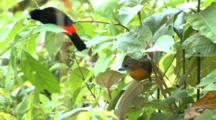 Passerini's Tanager Lands In Forest Costa Rica Spooks Unidentified Bird Off