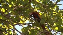 Scarlett Macaws Feed In Tree Canopy Costa Rica