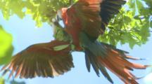 Scarlett Macaws Mate In Tree Canopy Costa Rica