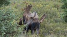 2 Bull Moose In Velvet Face Off Then Exit Right