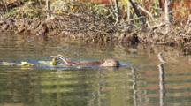 Adult Beaver Pulls Branch Through Ketttle Pond Then Dives
