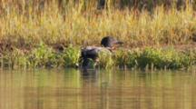 Common Loon Hauls Out On Shore/Grass Then Re-Enters Pond