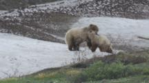 Grizzly Sow And Cub Wrestle On Snow Patch Alaska Seq #1