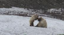 Grizzly Sow And Cub Wrestle On Snow Patch Alaska Seq #2