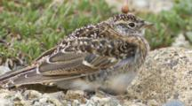 Horned Lark Chick Waits For Adult For Food Seq 2