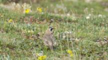 Horned Lark Adult Hunts For Food Seq 1