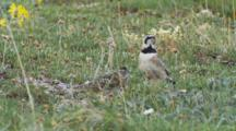 Horned Lark Adult Hunts For Food Seq 2