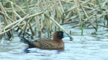 Male Masked Duck Floats On Pond With Reeds Background Seq 3