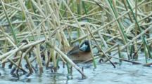 Male Masked Duck Preens Among Pond Reeds Seq 3