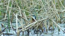 Male Masked Duck Preens Among Pond Reeds Seq 4