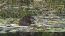 Muskrat Feeds On Reeds In Kettle Pond Seq 2