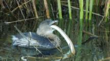 Pied -Billed Grebe Tries To Swallow Snake Seq 1