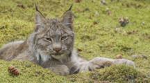 Adult Lynx - Sleepy - Lies In Sphagnum Moss Seq 1