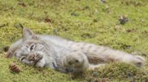 Adult Lynx - Sleepy - Lies In Sphagnum Moss Seq 2