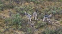 Alaskan Grey Wolf  And Pups Gather Seq 1