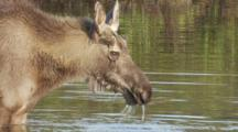 Young Bull Moose Feeds In Kettle Pond Seq 1