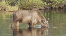 Young Bull Moose Feeds In Kettle Pond Seq 2