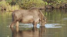 Young Bull Moose Feeds In Kettle Pond Seq 3