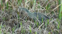 American Bittern Searches For Food Along Swamp Edge