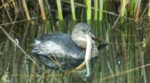 Pied -Billed Grebe Tries To Swallow Snake With Difficulty Seq2