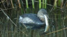 Pied -Billed Grebe Tries To Swallow Snake With Difficulty Seq3
