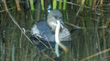 Pied -Billed Grebe Tries To Swallow Snake With Difficulty Seq4