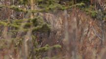 Lynx Stalks Prey Quietly Moving Through Brush Ak
