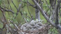 Northern Shrike Nest With Chicks - Adult Feeds - Flies In And Out