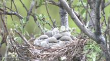Northern Shrike Nest With Chicks - Adult Feeds - Flies In - Out With Fecal Sack