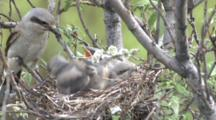 Northern Shrike Nest With Chicks - Adult Feeds - Flies Out With Fecal Sack