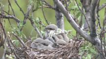 Northern Shrike Nest -Chick Flaps Wings, Stretches, Adult Brings Food, Flies Off