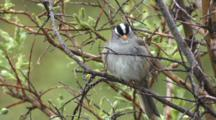 White Crowned Sparrow Preens In Willow Bush Ak