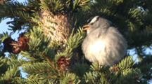 White Crowned Sparrow Sings, Fluffs In Spruce Tree  Ak