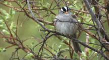 White Crowned Sparrow Sings In Willow Bush  Ak