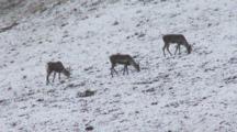 Alaskan Caribou Graze Snowy Hillside