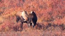 Two Bull Moose Spar Fall Tundra Alaska - One Exits Runs Off