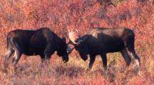Two Bull Moose Spar Fall Tundra Alaska, One Runs Away