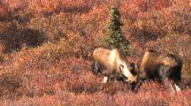 Two Bull Moose Spar Fall Tundra Alaska