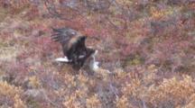 Golden Eagle Tugs On Snow Shoe Hare Carcass Alaska