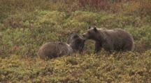 Grizzly Bear Cubs Squabblefight Briefly Near Sow Alaska