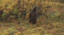 Grizzly Sow Stands Scratches Back On Tree In Rain Alaska