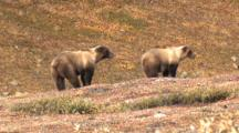 Grizzly Sow And Cub Wary Danger Run Off Alaska