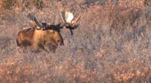 Bull Moose Runsthrough Willow And Spruce Fall Tundra Alaska