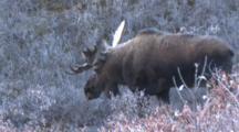 Bull Moose Walks Through Willow Frosty Morning Alaska