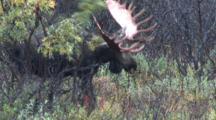 Bull Moose Thrashes Paddles On Willow Shedding Velvet   Alaska