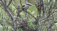 Northern Shrike Adult Brings Food To Chicks In Nest
