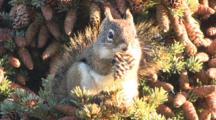 Spruce Squirrel Eats Spruce Cones Fall Alaska